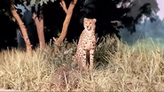 Rolling Hills Zoo Cheetah