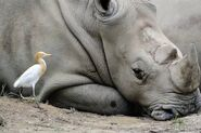 14699980-white-rhino-with-a-cattle-egret