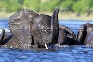 497798675-1024x1024 Elephants Swimming Royalty