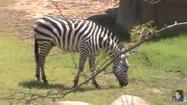 Dallas Zoo Zebra