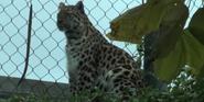 Phelidelphia Zoo Leopard