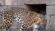 Greenville Zoo Leopard