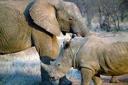 Elephants Rhinoceroses Okapis