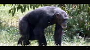 Houston Zoo Chimpanzee