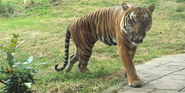 Knoxville Zoo Tiger