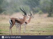 Male and female Grant's gazelles
