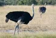 Ostrich-self-drive-192