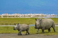 Rhinos and Flamingos
