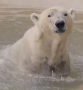 SDZ TV Series Polar Bear