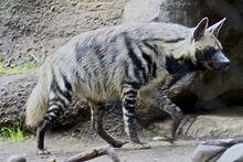 Striped hyena 2