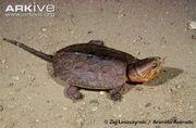 Turtle, big-headed