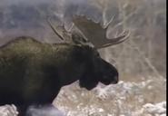 Zoboomafoo Alaskan Moose