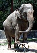 Baton Rouge Zoo Elephant