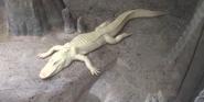 Brookfield Zoo Alligator