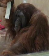 Milwaukee County Zoo Orangutan