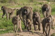 Troop of olive baboons