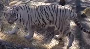 White tiger agc afvwam