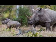 Wild Animal Attack (Cheetah vs Rhinoceros)