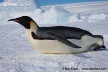 Adult-emperor-penguin-tobogganing