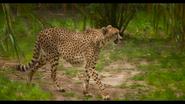 Baton Rouge Zoo Cheetah