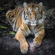 Indrah the Sumatran Tiger