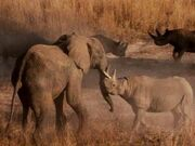 Wild Animal Attack (Rhinoceros Vs Elephant)