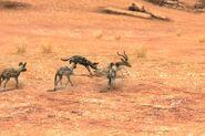 11 wild dog hunt