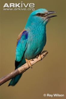 European-roller-perched