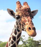 Giraffe in miami zoo