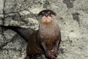 Otter, Asian Small-Clawed
