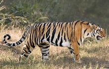 Bengal tiger 112597 234481