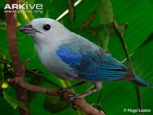 Blue-grey-tanager-perched