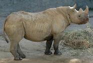 Photo-detail-asia-black-rhino-2