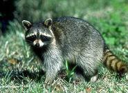 Raccoonfig1