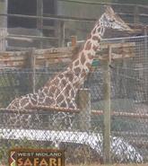 WMSP Giraffe