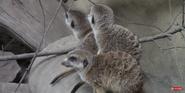 Calgary Zoo Meerkat