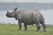 IndianRhinoceros