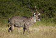 James-hager-common-waterbuck-ellipsen-waterbuck-kobus-ellipsiprymnus-ellipsiprymnus-buck