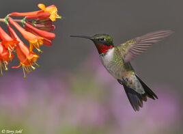Ruby throated hummingbird 3