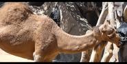 San Diego Zoo Dromedary