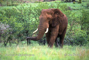 South African Bush Elephants