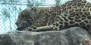 Zoo Miami Jaguar