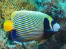Angelfish, Emperor