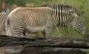 Detroit Zoo Zebra