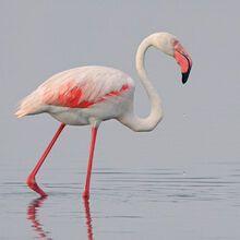 Greater flamingo by jamie macarthur-d4pqs2n