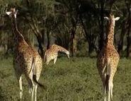 HugoSafari - Giraffe03