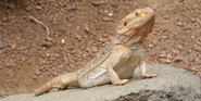 Indianapolis Zoo Central Bearded Dragon