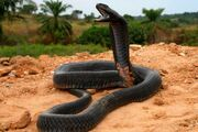 Spitting cobra, black-necked