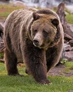 Bear, Brown