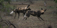 KNP Dogs